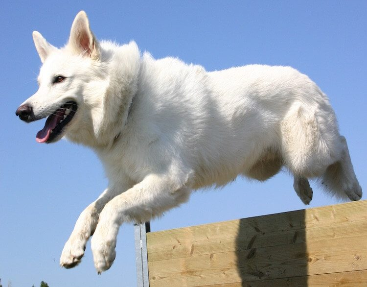 Exercising A Blanc Suisse Dog