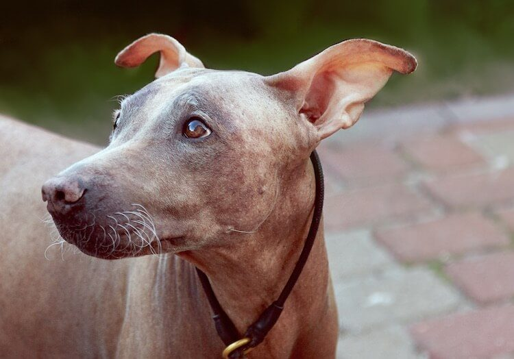 Hairless Terrier