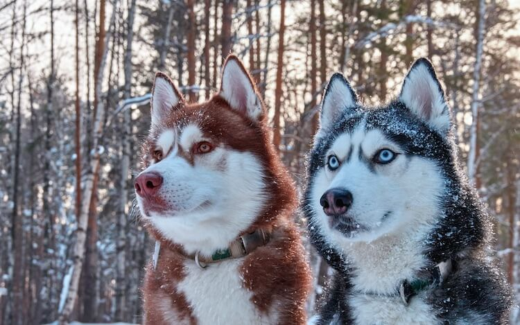 Red Husky Everything You Should Know