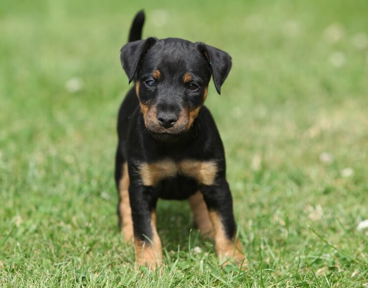Jagdterrier Dog
