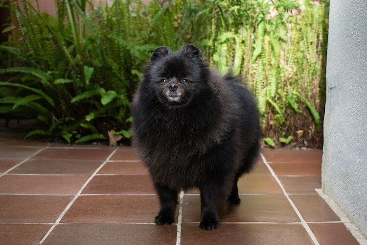 Old Pomeranian Dog