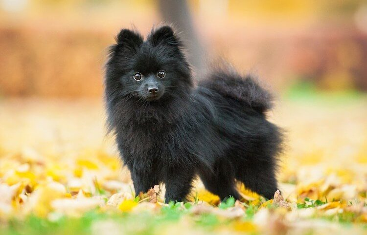 Pomeranian Black Dog