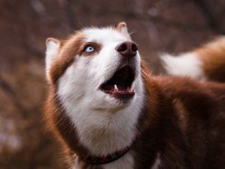 Red Husky Dog