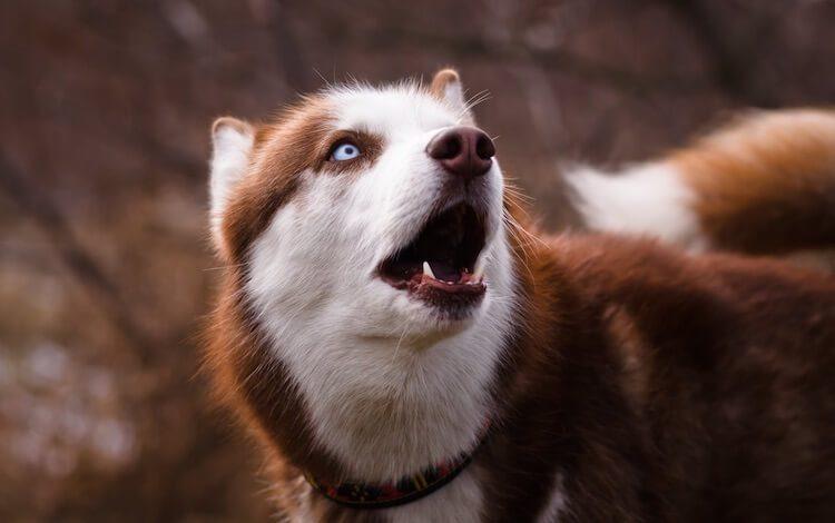 Red Husky Dog