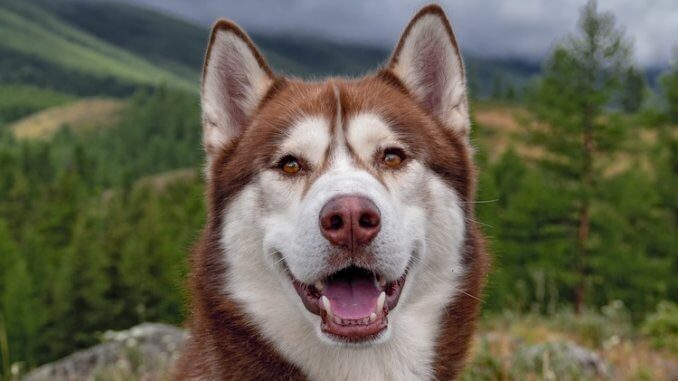 Red Husky Feature