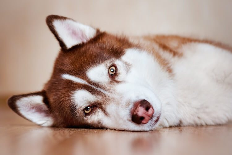 Red Husky Portrait
