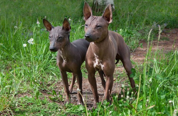 Two Hairless Terriers