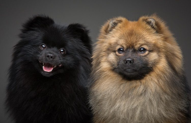 Two Pomeranian Dogs