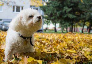 Walking A Bolognese Dog