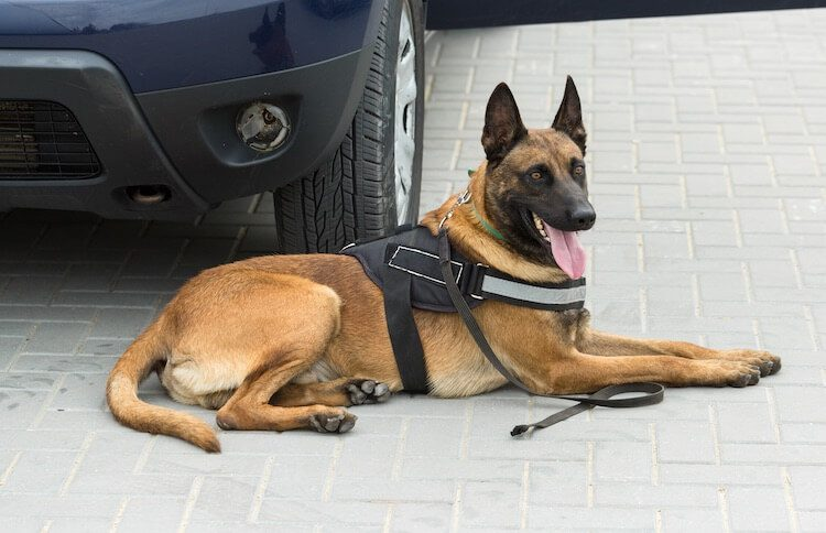 Working Belgian Malinois Dog