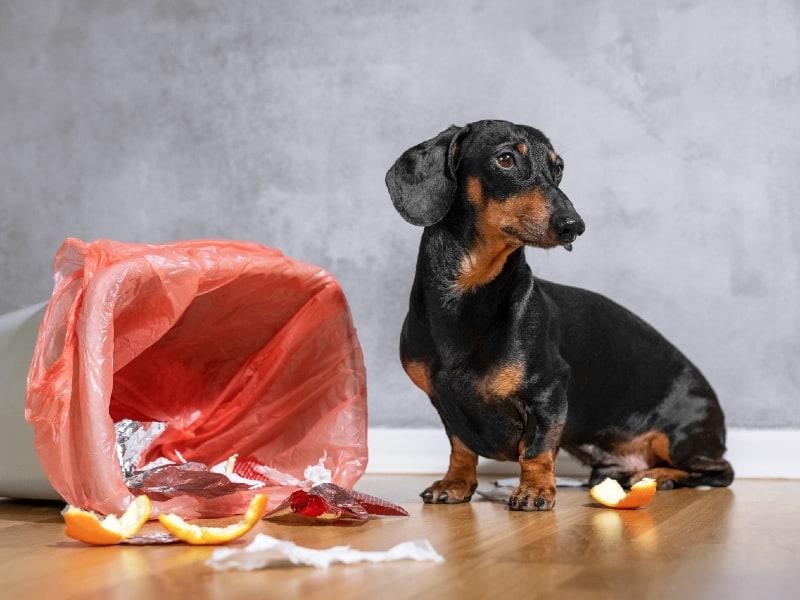 Beagle Dachshund