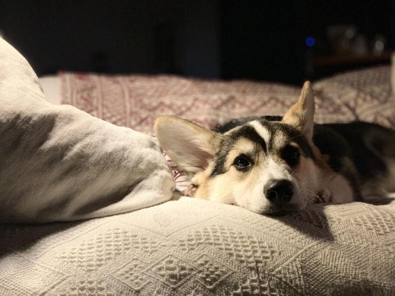 Beagle Husky