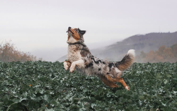 Australian Shepherd Exercising