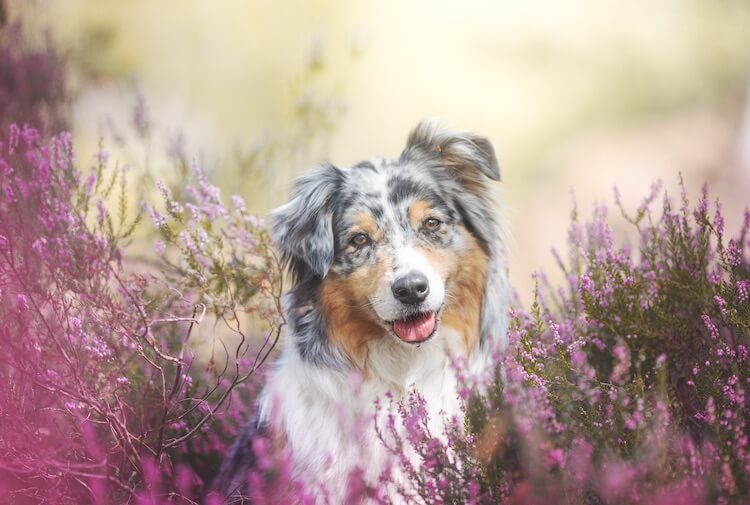 Australian Shepherd Feature