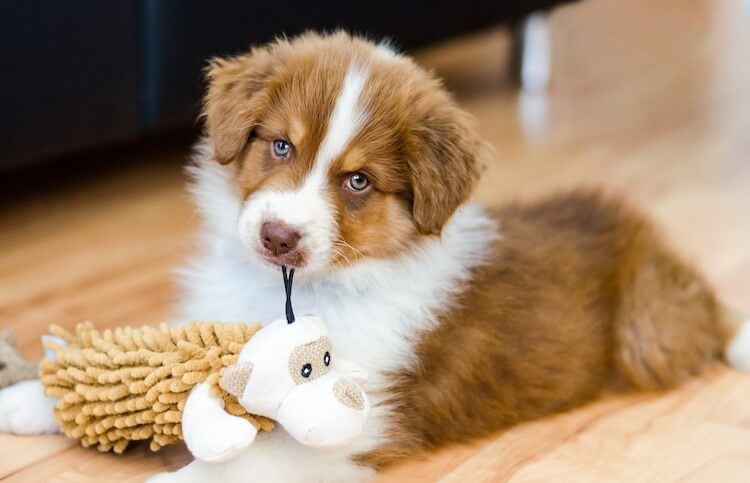 Australian Shepherd Puppy Playing