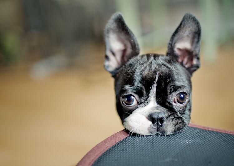 Black Boston Terrier Dog