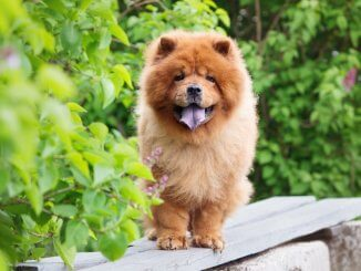 Chow Chow Feature