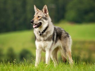 Czechoslovakian Wolfdog Feature