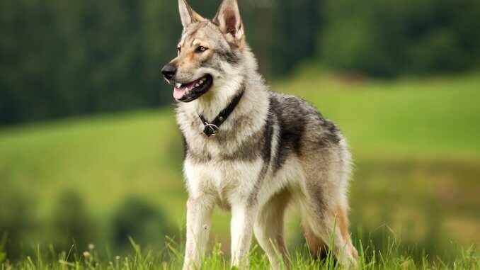 Czechoslovakian Wolfdog Feature