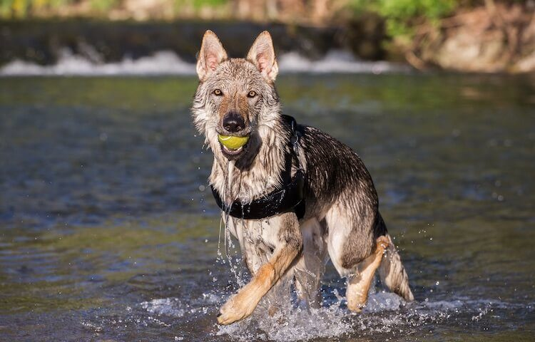 Czechoslovakian Wolfdog Playing In River
