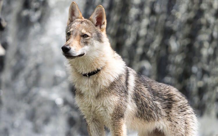 Czechoslovakian Wolfdog Portrait
