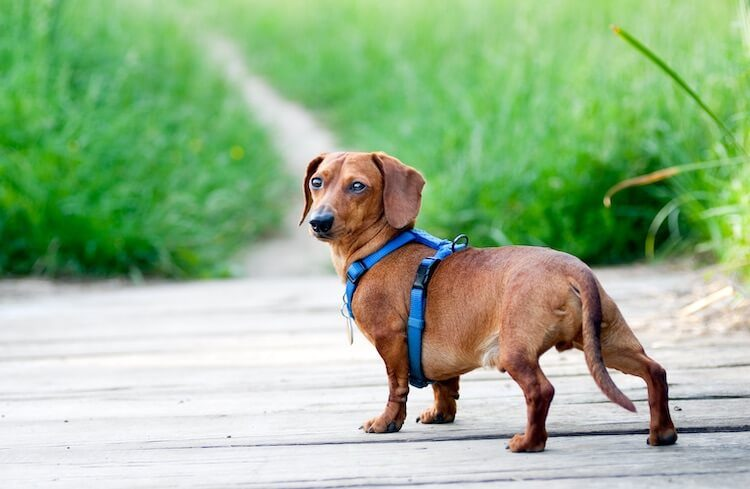 Dachshund Harness Feature