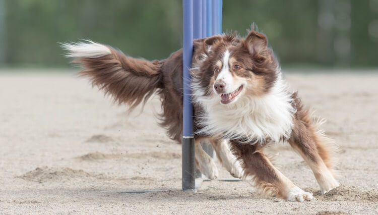 Dog Playing Agility