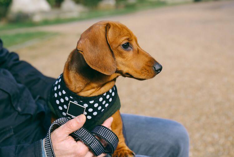 Fitting a Harness On A Dachshund Dog