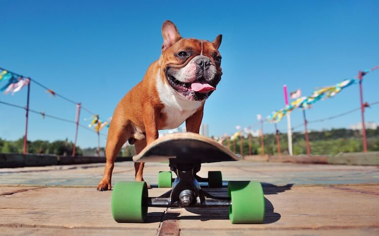 French Bulldog Skateboarding