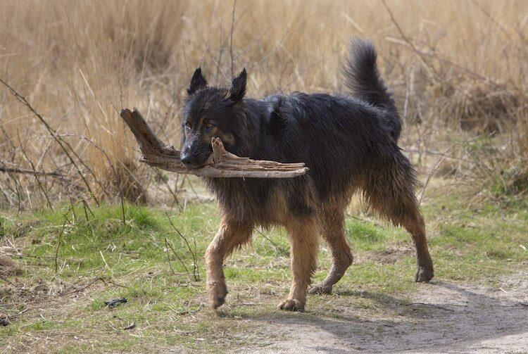 King Shepherd Dog Walking