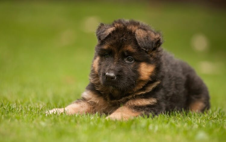 King Shepherd Puppy
