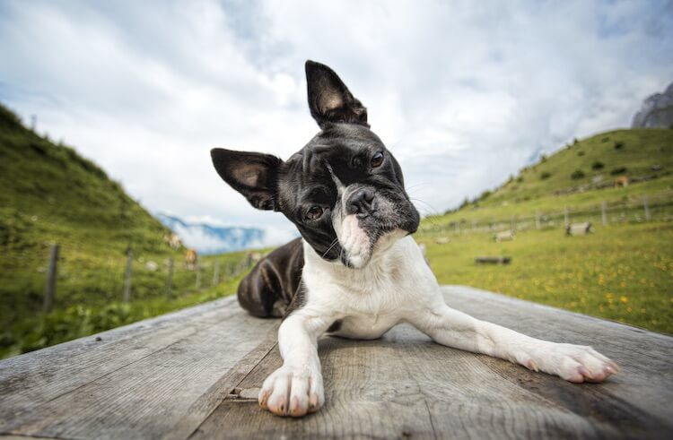 Old Boston Terrier Dog