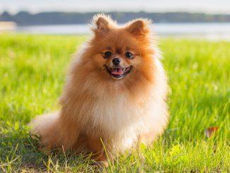Pomeranian Feature