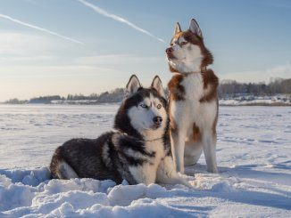 Siberian Husky Feature