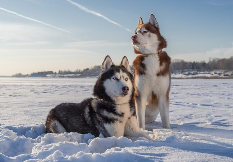 Siberian Husky Everything You Should