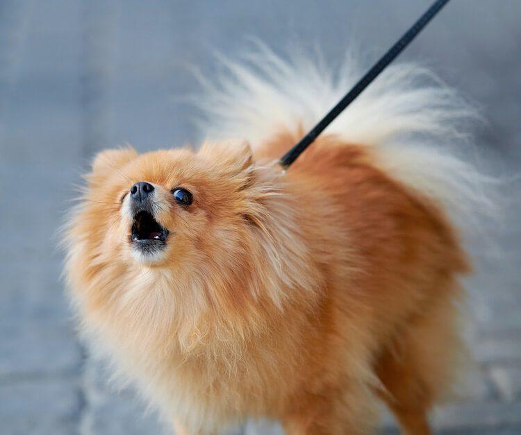 Small Pomeranian Barking