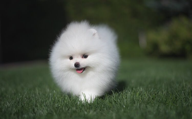 Small White Pomeranian