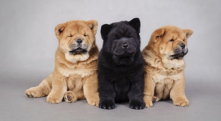 Three Chow Chow Puppies