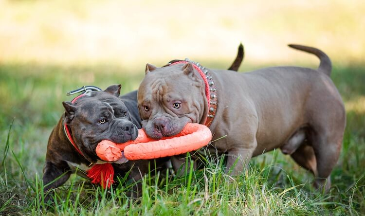 Two American Bully Dogs