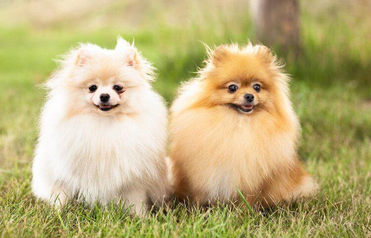 Two Pomeranian Dogs