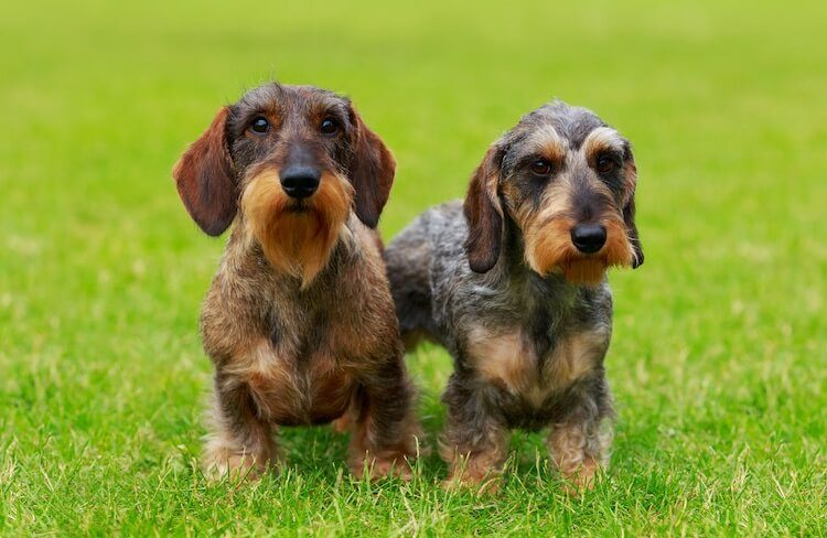 Two Wire Haired Dachshund Puppies