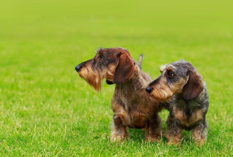 Two Wire Haired Dachshunds