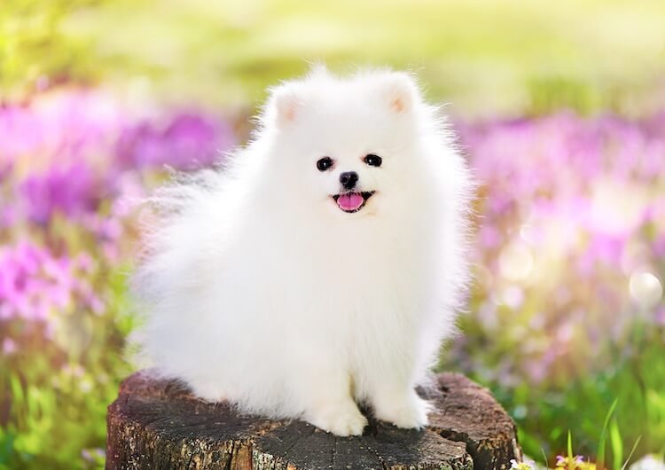 White Pomeranian Feature