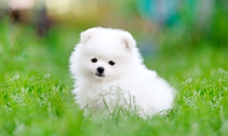 White Pomeranian Puppy