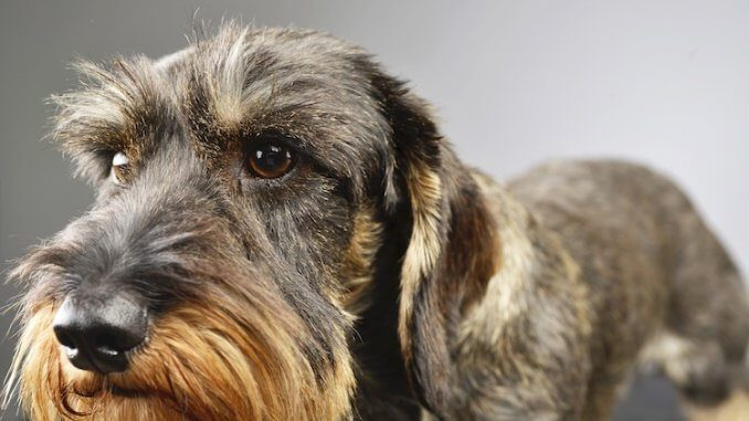 Wire Haired Dachshund Feature