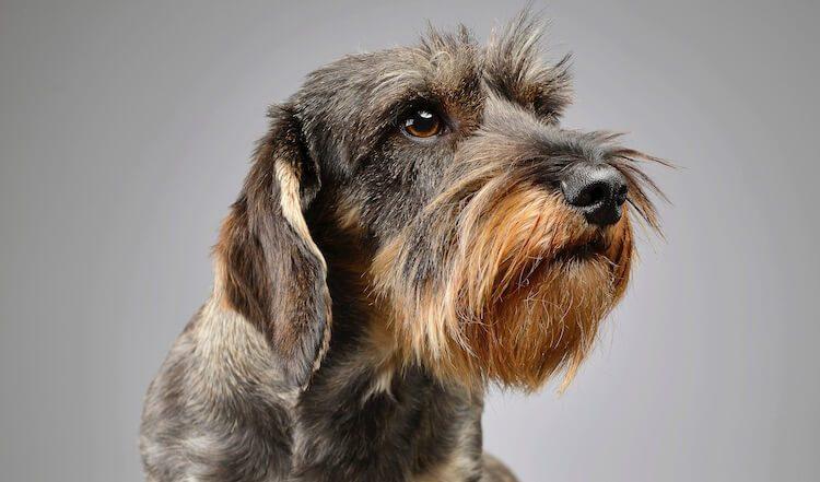 Wire Haired Dachshund Portrait