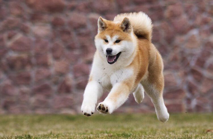 Akita Playing