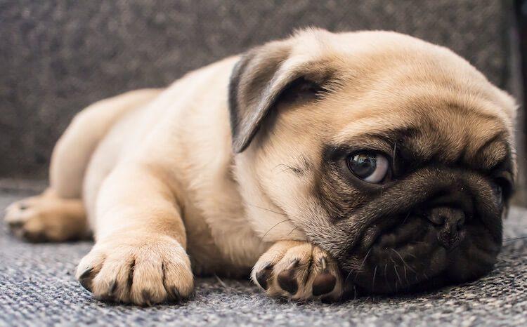 Cute Pug Lying Down