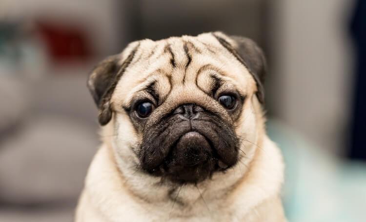 Face of a Pug