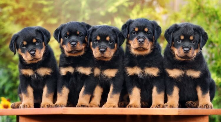 Litter Of Rottweiler Puppies